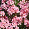 Nerium oleander 'Tito Poggi'