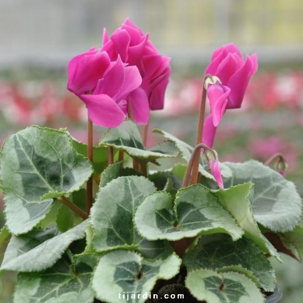 Cyclamen 'Décora' violet