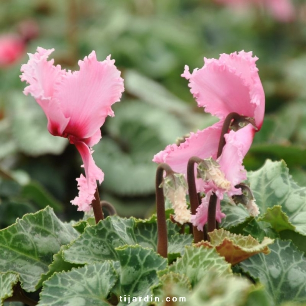 Cyclamen 'Frizzelia' rose clair