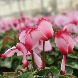 Cyclamen 'VICTORIA®' rose au cœur et liseré fuchsia