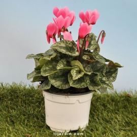 Cyclamen 'Mini' rose clair