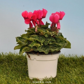 Cyclamen 'Mini' fuchsia