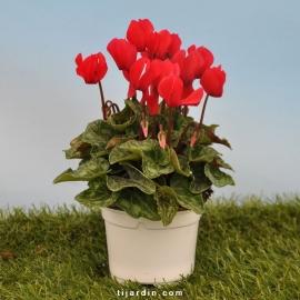 Cyclamen 'Mini' rouge écarlate