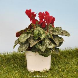 Cyclamen 'Mini' rouge profond
