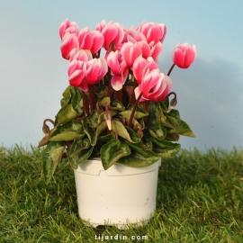 Cyclamen 'Mini' Fantasia rose
