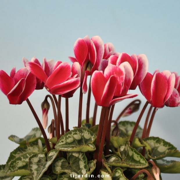 Cyclamen 'Mini' Fantasia rose