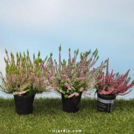 Bruyère d'automne - Calluna vulgaris