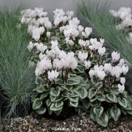 Pack automne Elégance & Pureté (5 plantes + 1 terreau)