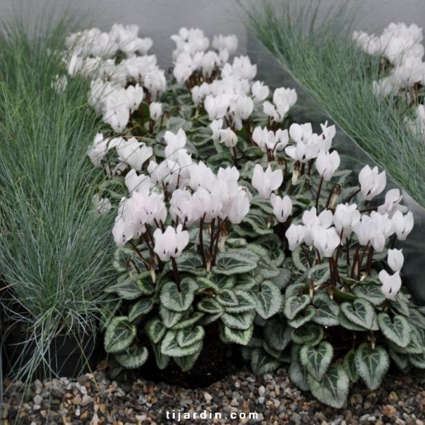 Box automne Elégance & Pureté (5 plantes + 1 terreau)