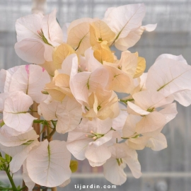 Bougainvillea 'Ada's Joy'