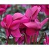 Cyclamen 'Dhiva' violet foncé