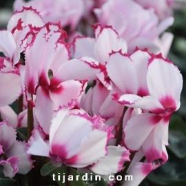 Cyclamen 'VICTORIA®' blanc au cœur et liseré rose