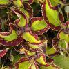 Coleus 'Caipiriatha'-Solenostemon