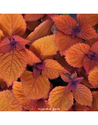 Coleus 'Spite Fire'-Solenostemon