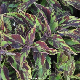 Coleus 'Purple Haze'-Solenostemon