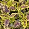 Coleus 'Capirina'-Solenostemon
