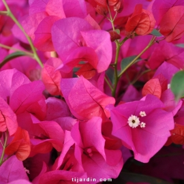 Bougainvillea 'Blush'