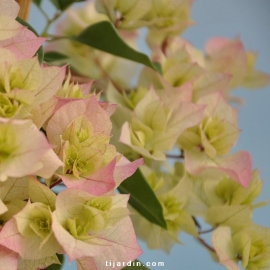 Bougainvillea 'Double Blanc'