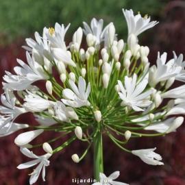 Agapanthus 'White Heaven'