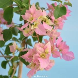 Bougainvillea 'Double Rose'