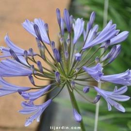 Agapanthus africanus bleu