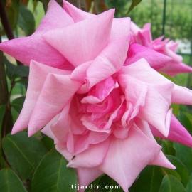 Rosa 'Lafollette'