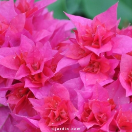 Bougainvillea 'Double Rouge'