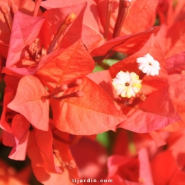 Bougainvillea 'Flame'