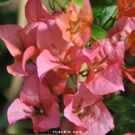 Bougainvillea 'Nain Orange'