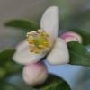 Microcitrus australasica- Citron caviar rose