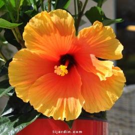 Hibiscus rosa sinensis 'HibisQs' New Apollo Bicolor