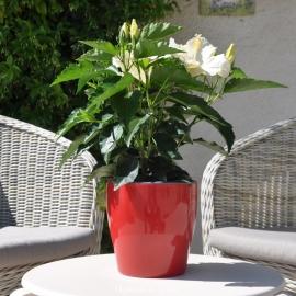 Hibiscus rosa sinensis 'HibisQs' Gaia White fleur