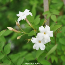 Jasminum officinalis affine