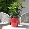 Hibiscus rosa sinensis 'HibisQs' Gaia White non fleurie