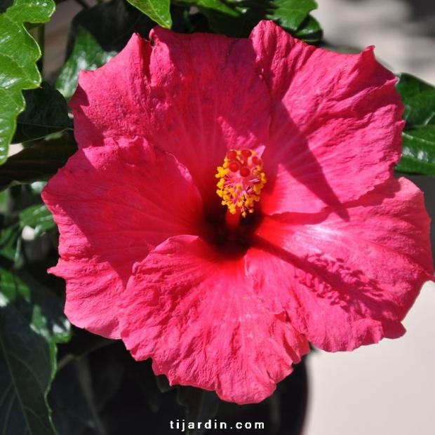 Hibiscus rosa sinensis 'HibisQs' Juno Pink fleur