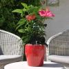 Hibiscus rosa sinensis 'HibisQs' Juno Pink fleurie