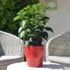 Hibiscus rosa sinensis 'HibisQs' Juno Pink non fleurie