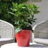 Hibiscus rosa sinensis 'HibisQs' New Apollo Bicolor non fleurie