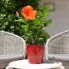 Hibiscus rosa sinensis 'Carrera' fleurie