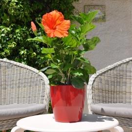 Hibiscus rosa sinensis 'Carrera' fleur