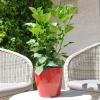 Hibiscus rosa sinensis 'Carrera' non fleurie