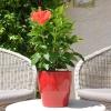 Hibiscus rosa sinensis 'Manava' fleurie