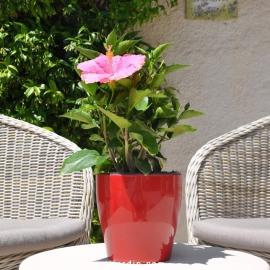 Hibiscus rosa sinensis 'Teva' fleur