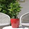 Hibiscus rosa sinensis 'Teva' non fleurie