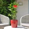 Hibiscus rosa sinensis 'Nona' fleurie