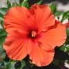 Hibiscus rosa sinensis 'HibisQs' Adonicus Orange fleur