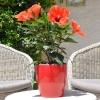 Hibiscus rosa sinensis 'HibisQs' Adonicus Orange fleurie