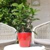 Hibiscus rosa sinensis 'HibisQs' Adonicus Orange non fleurie