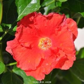 Hibiscus rosa sinensis 'Manava'