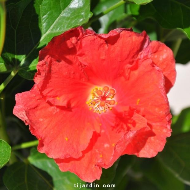 Hibiscus rosa sinensis 'Manava' fleur